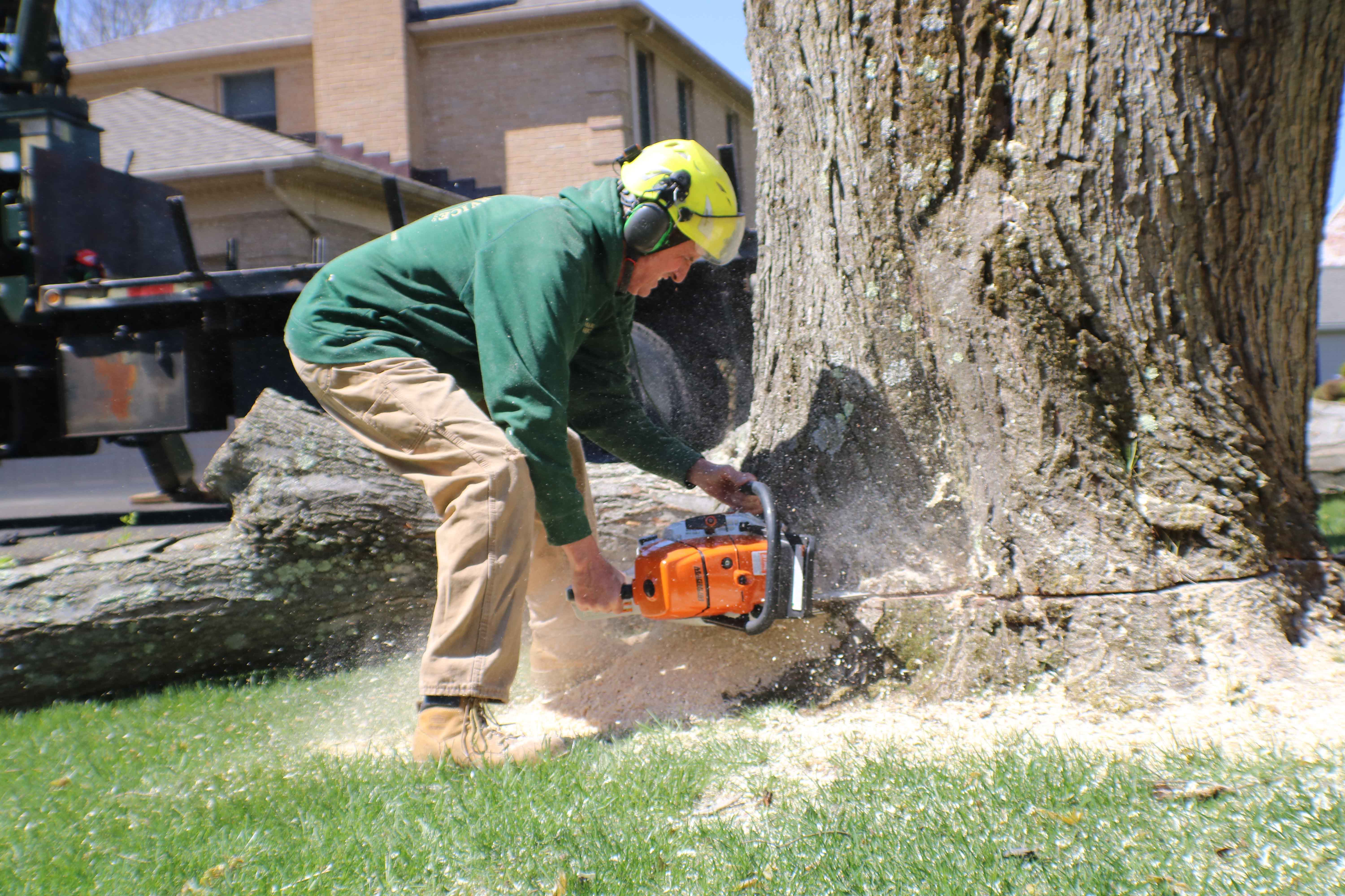 cutting down tree with chainsaw. tree removal. felling tree