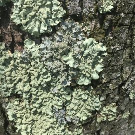 lichens | tree diseases | Glen Arm, md