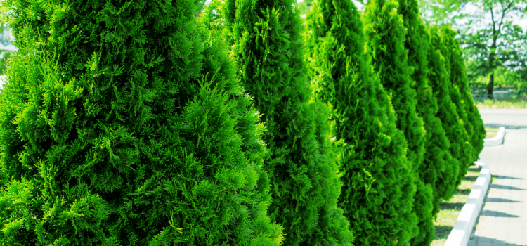 Need Some Privacy? The Best Choices in Evergreen Trees for Privacy Screens